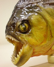 Souvenir_piranha_jaw_detail